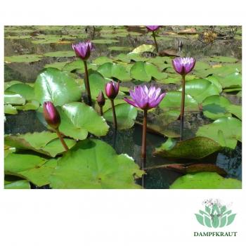 Dampfkraut Blue Lotus Flower Powder 28 Grams